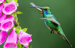 Humming Bird Maurice Lee